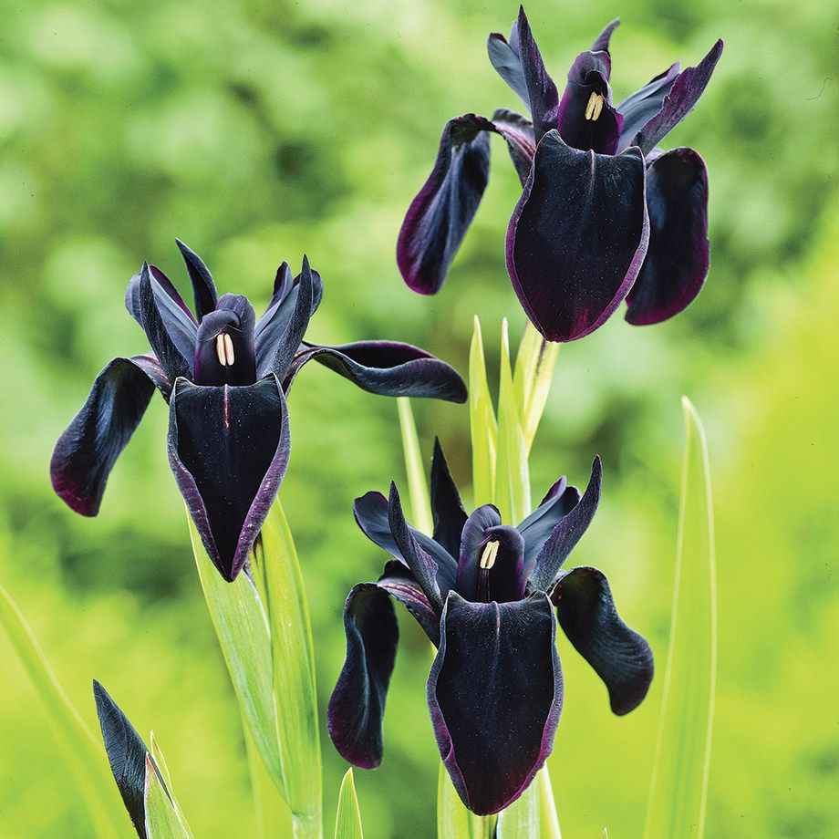 Black Form Iris In 2020 Black Flowers White Flower Farm Black Iris