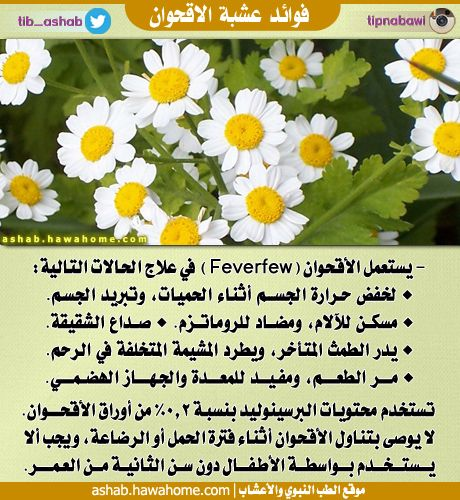 14043981991 Jpg 460 500 Herbs Feverfew Parsley