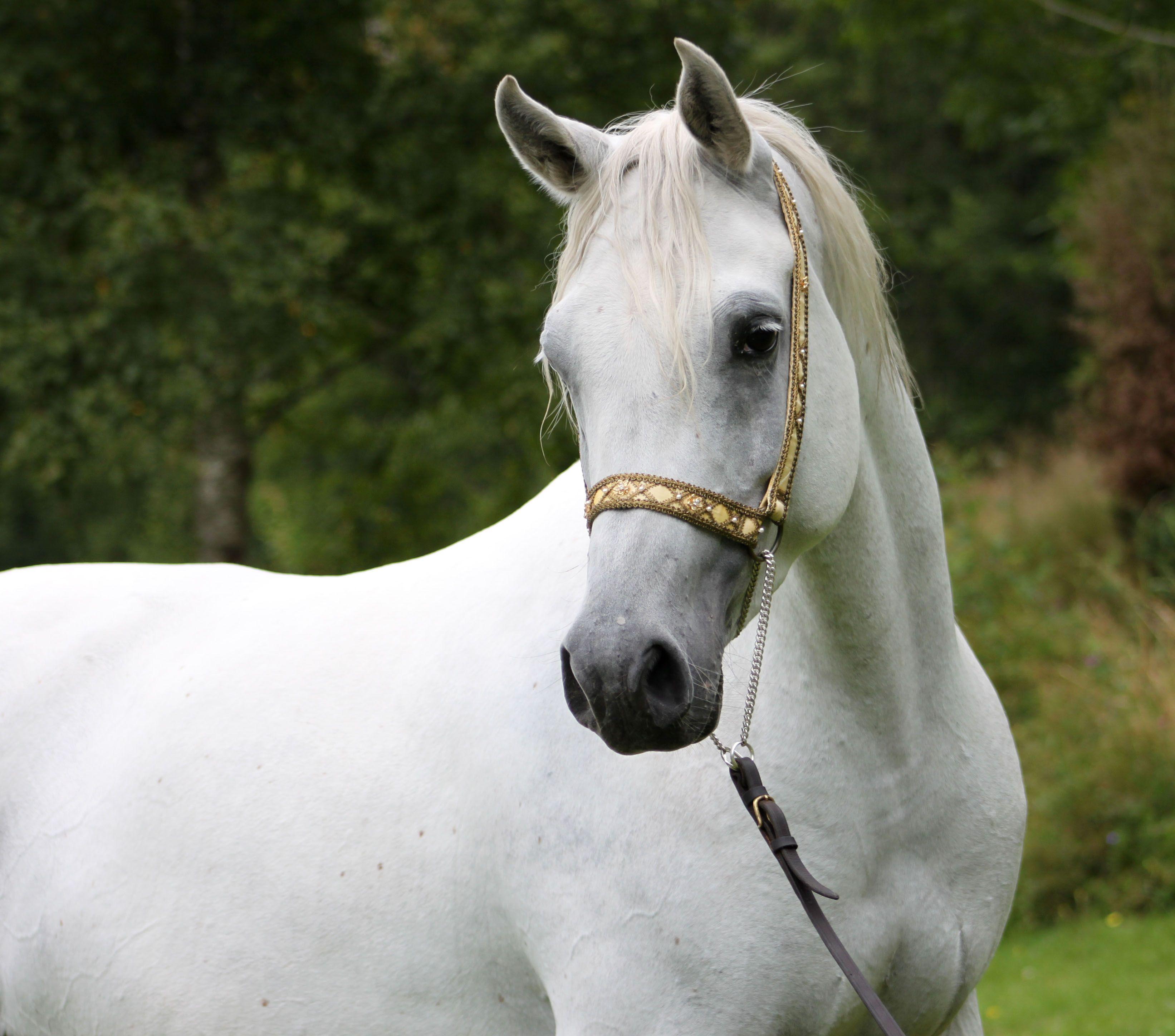 White Arabian Horses White Arabian Horse Wallpaper Forwallpaper