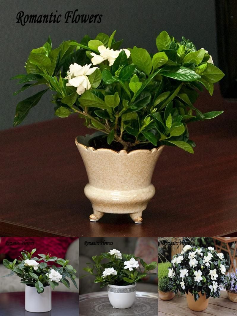 Visit to buy 20 particlebag cape jasmine real seed gardenia visit to buy 20 particlebag cape jasmine real seed gardenia jasminoides very fragrant and beautiful diy garden flower bonsai plant izmirmasajfo