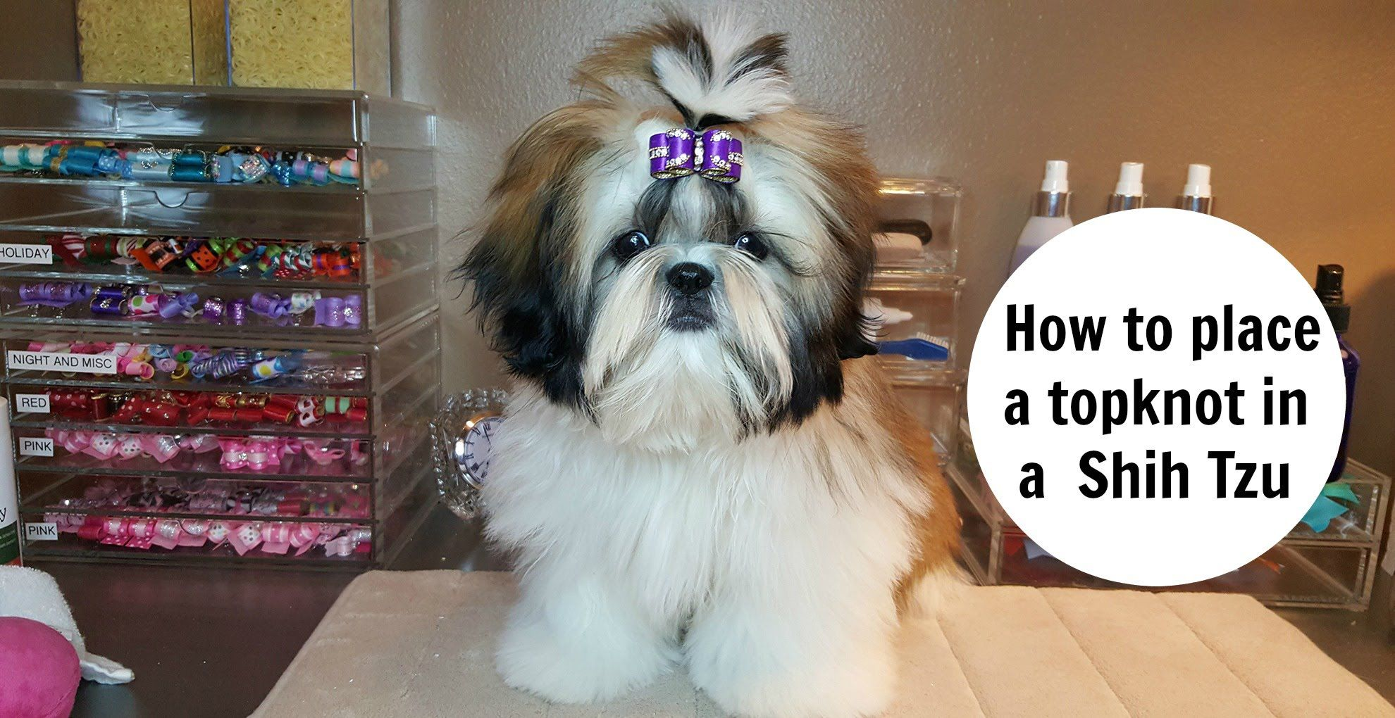 How To Place A Topknot In A Shih Tzu Youtube Shih Tzu Hair Styles Shih Tzu Grooming Shih Tzu