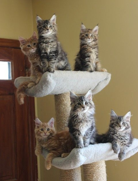 ClassicCoolCattery Kittens Pretty cats, Kittens, Cat