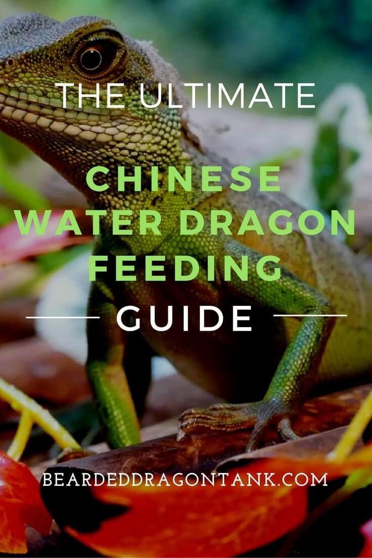 What do chinese water dragons eat reptiles pinterest