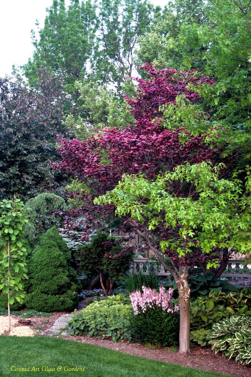 Dictamnus with tricolor beech | Yards | Pinterest | Gardens, Shrub ...