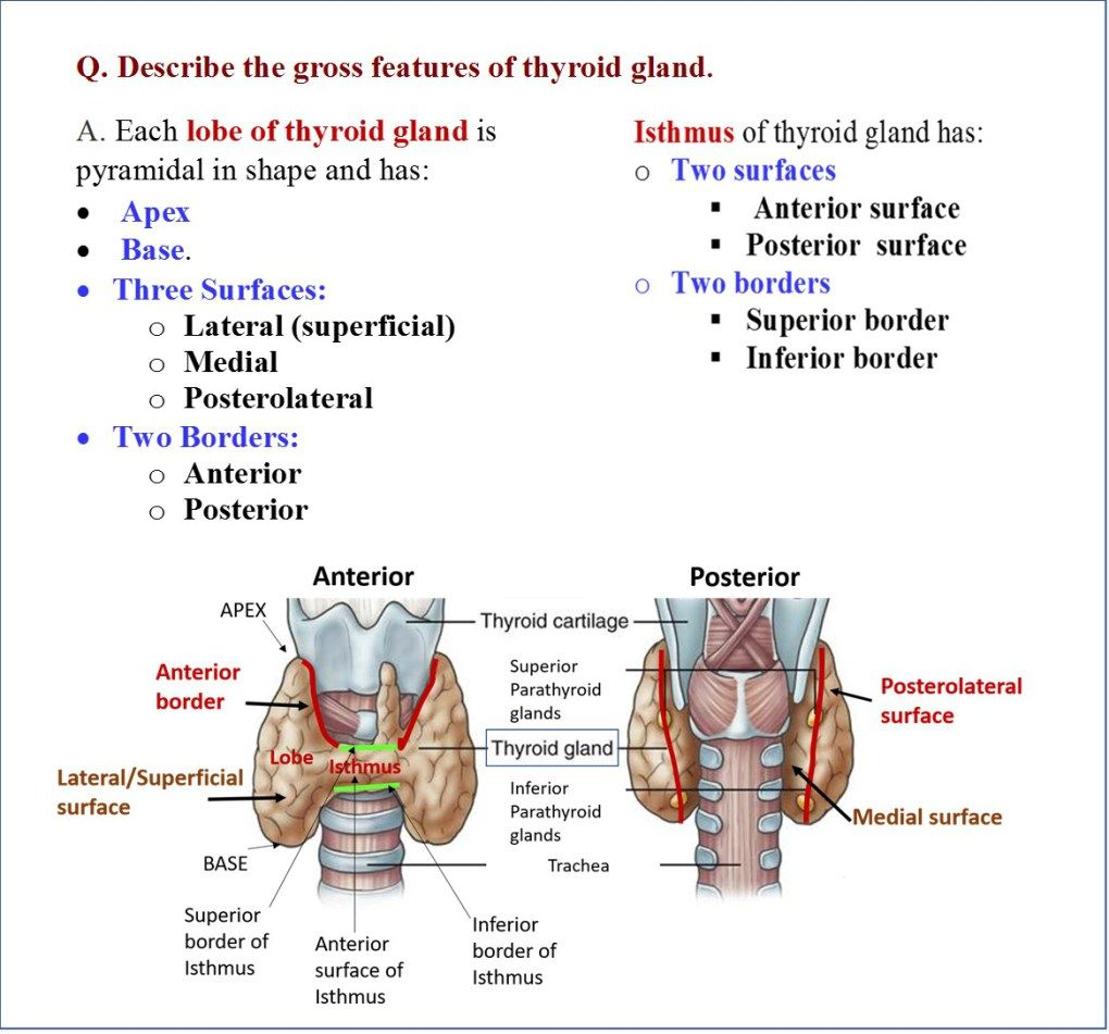Development Of Tongue And Thyroid Gland Thyroid Gland Gland