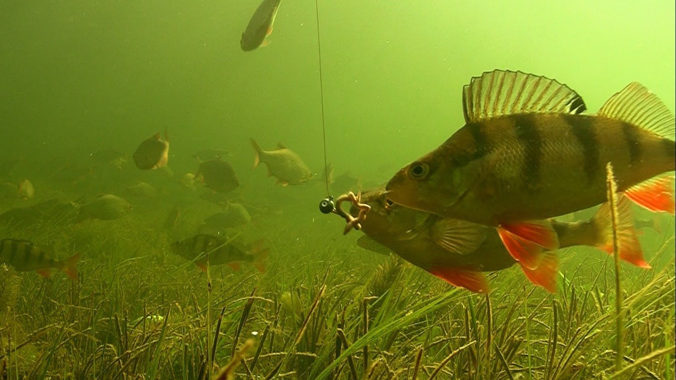 Big perch fishing with worms soft bait underwater for Worms for fishing bait