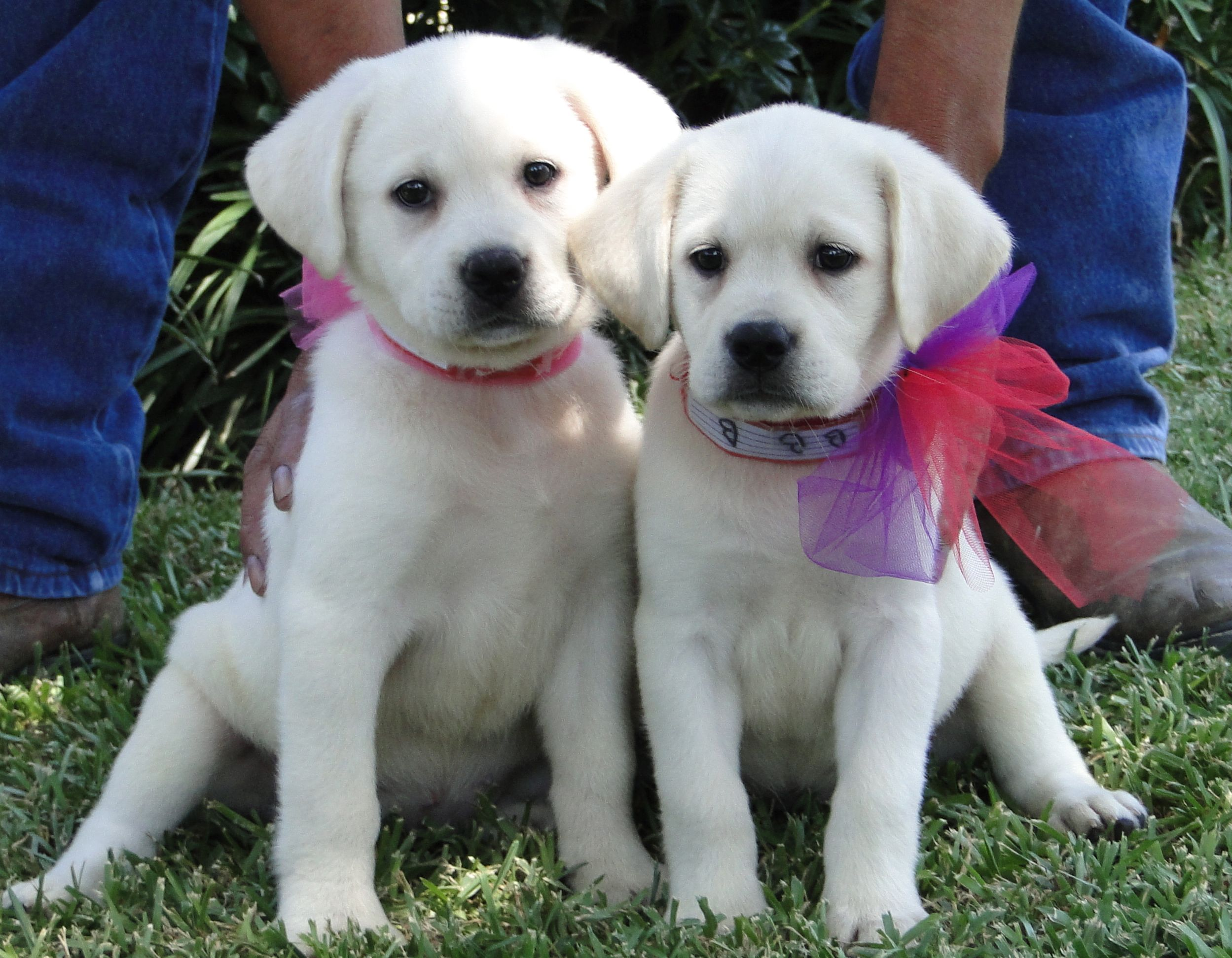 Wow So White And Gorgeous I Really Enjoy Raising Our Beautiful White Labrador Retrievers At Our Ranch In Texas Www Legacy Labs Com Lab Puppies Cute Animals Puppies