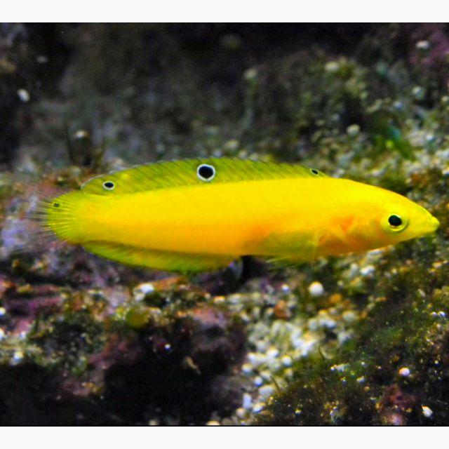 Halichoeres Chrysus Canary Wrasse Golden Wrasse Yellow Wrasse Marine Fish Sea Fish Mandarin Fish