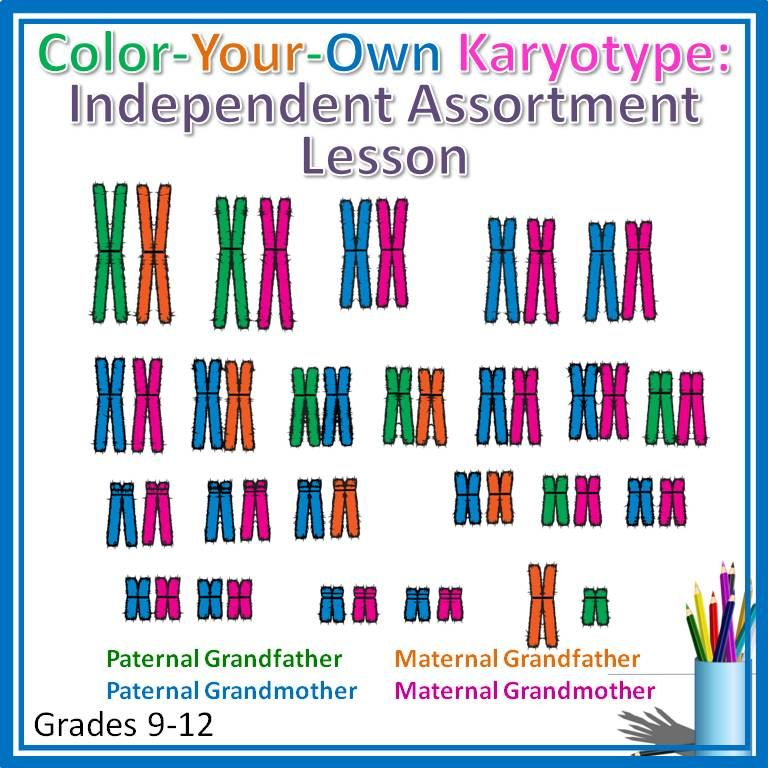 Color Your Own Karyotype  Independent Assortment Lesson For High School Biology