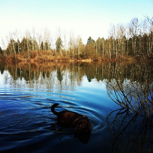 #reflection #lake #chocolate #lab #swimming #langley #beautiful #britishcolumbia - @Kerrie Why Smith- #webstagram Taken in Langley BC