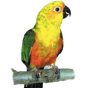 Fancy Conure Live Birds PetSmart Pet birds, Conure