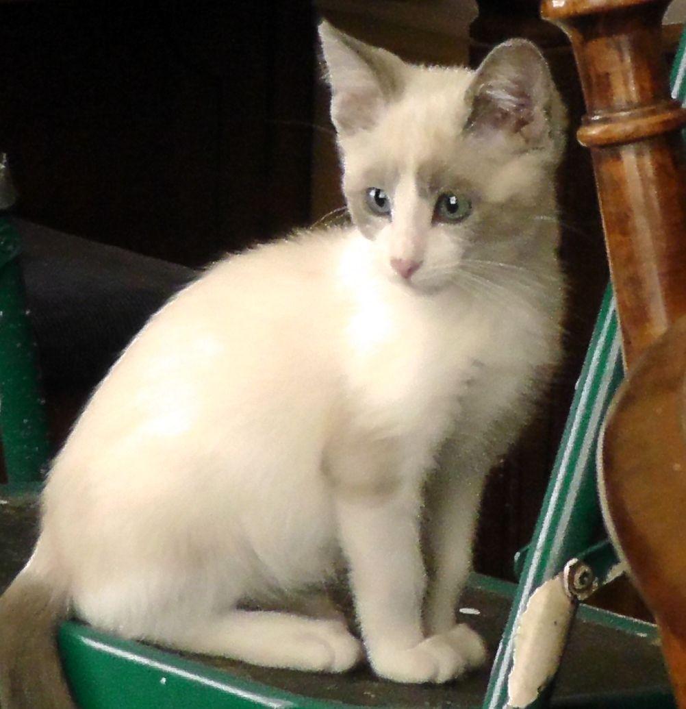 Snowshoe Siamese Mix Kitten Malcolm Snowshoe Cat Pet Breeds