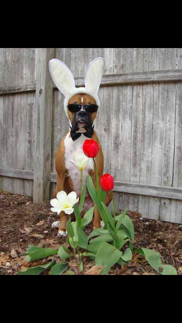 Boxer Bunny   Flickr - Photo Sharing!  Boxer Dogs With Bunnies