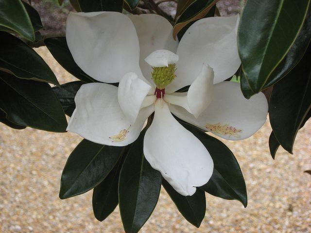 Magnolia Beautiful Flowers Love Flowers Magnolia