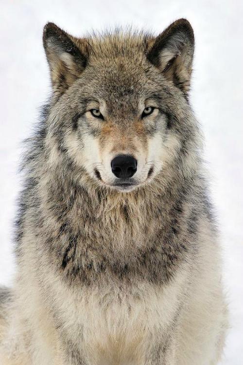 Found On Ccold Tumblr Com Via Tumblr Cuccioli Timber Wolf