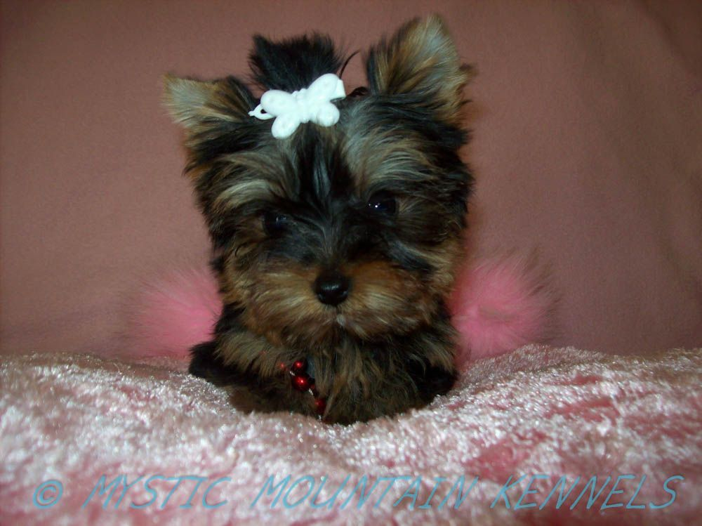 Yorkshire Terrier Shih Tzu Teacup Yorkie Akc Yorkies Shihtzu Puppies For Sale Tiny Knoxville Tn Yorkie Yorkie Puppy Yorkshire Terrier