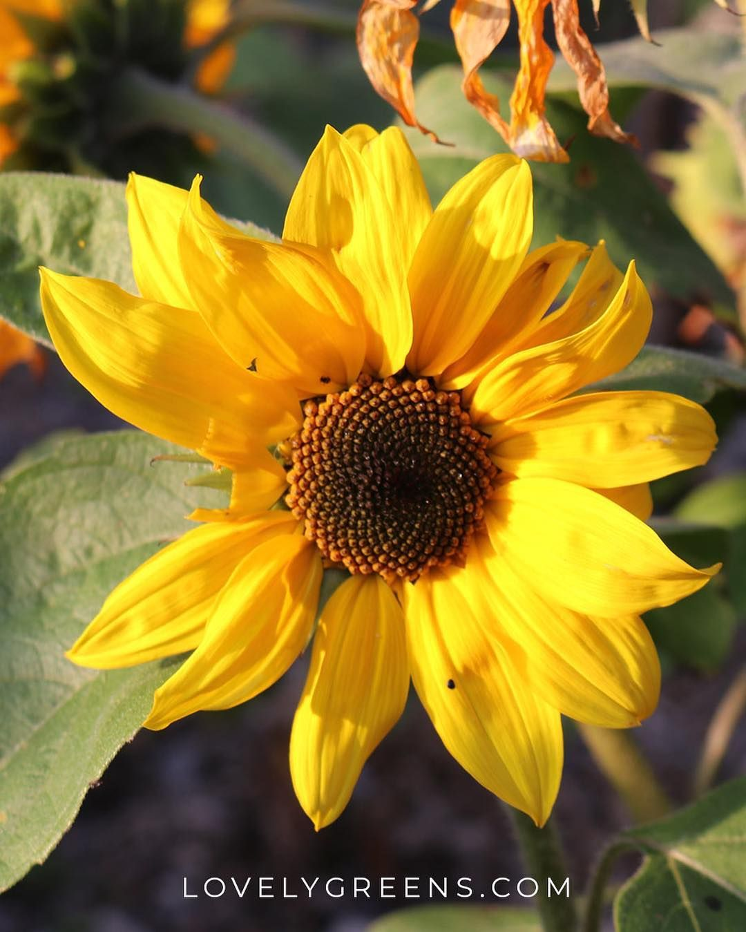 🌻A bit bedraggled but still glowing in the sunshine. These ...
