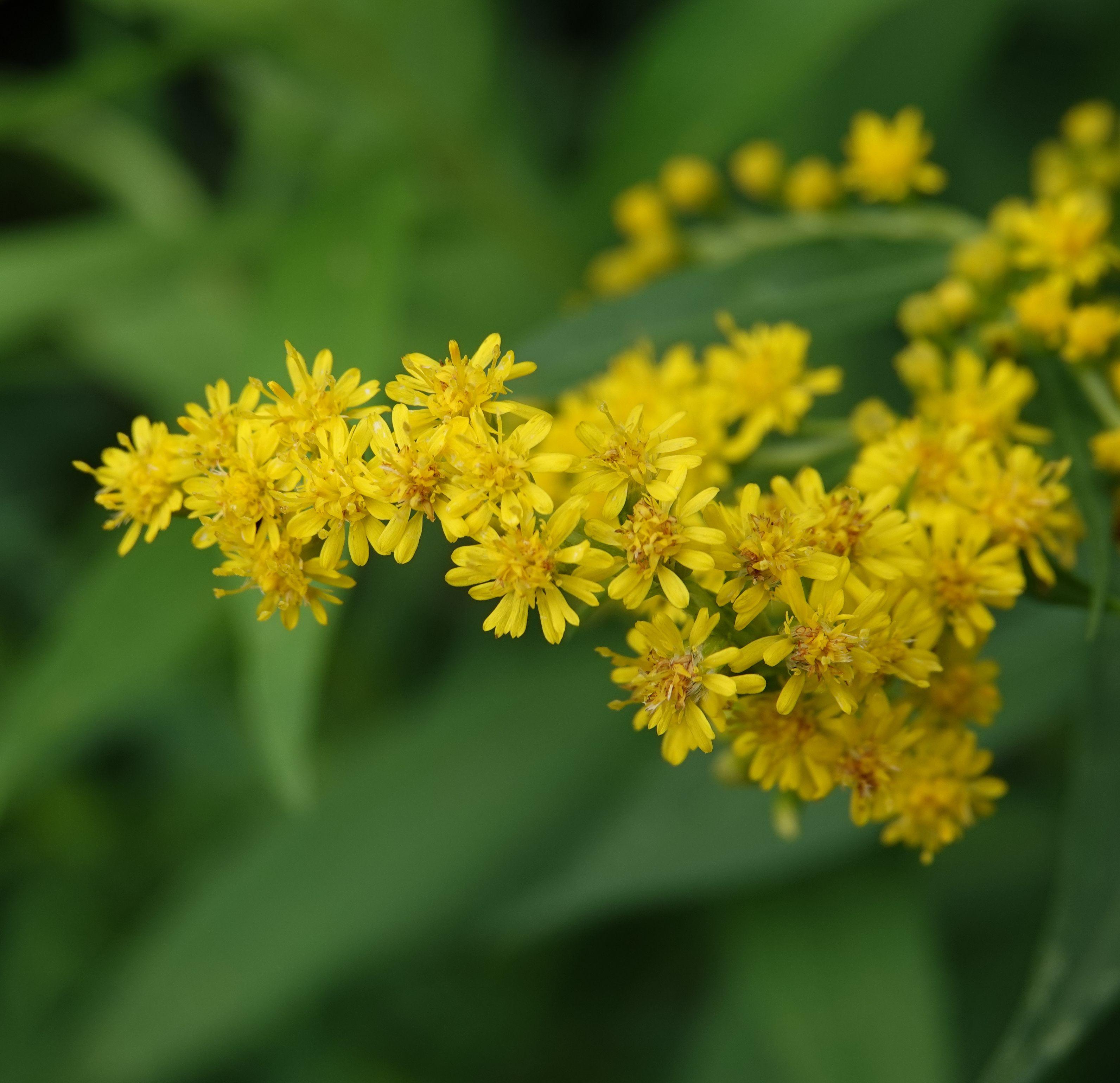 Pin By Michael Meyer On Goldenrod Flower Goldenrod Flower Plants Garden