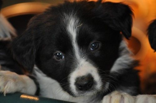 Full Blooded Border Collie Pups For Sale For More Information