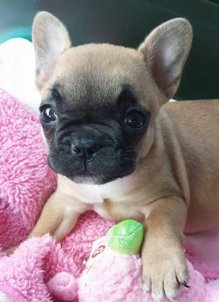 Dog Staring At Cupcakes : staring, cupcakes, French, Bulldog,, Animals,, Bulldog