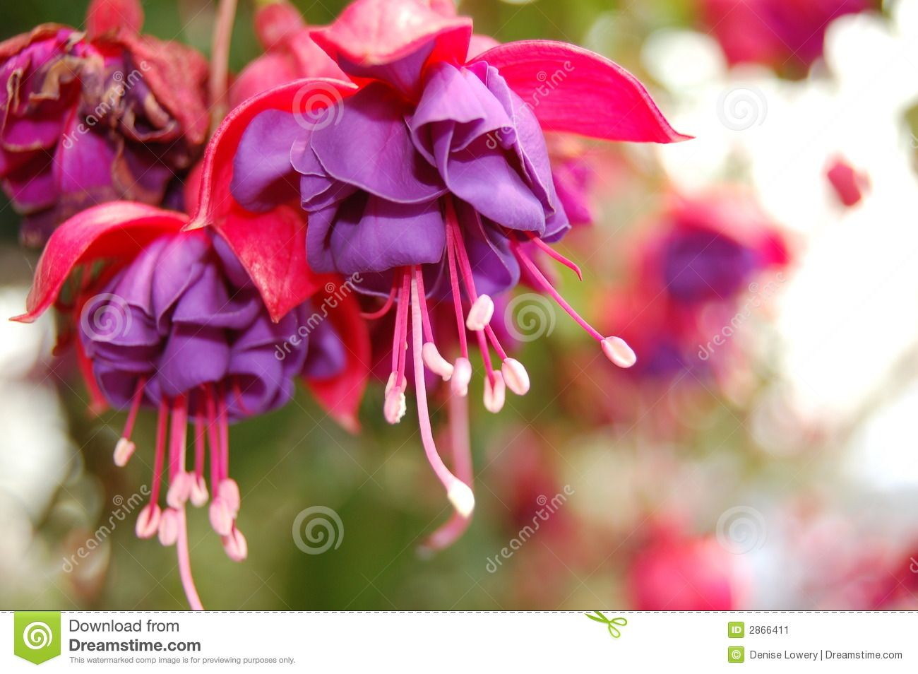 Blue Bleeding Heart Plant Displaying 17 Images For