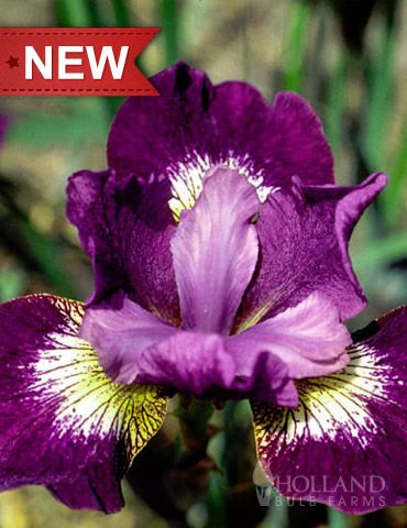 Jewelled Crown Siberian Iris, 2 feet, partial shade, blooms early summer