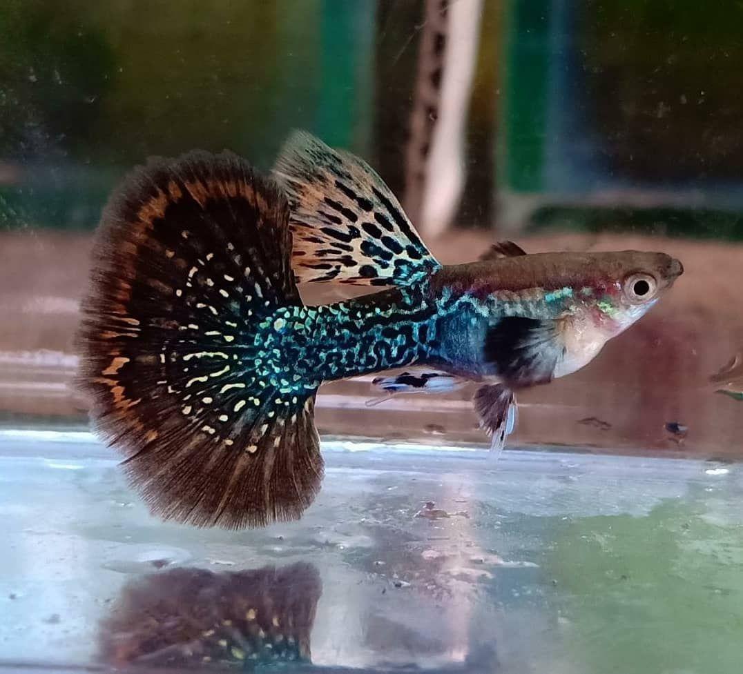High Quality Black Dragon Guppy Fish Guppy Fish Guppy Betta Fish Types