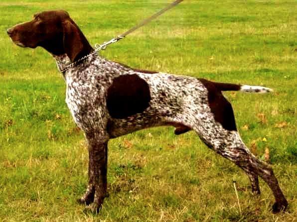 Descubre La Raza De Perro Braco Alemán De Pelo Corto No Te