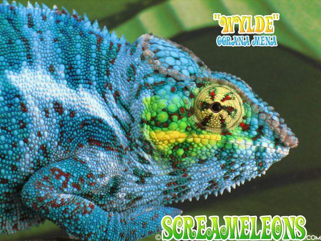 Oorana Mena Wylde Chameleon Pet Chameleon Chameleons For Sale