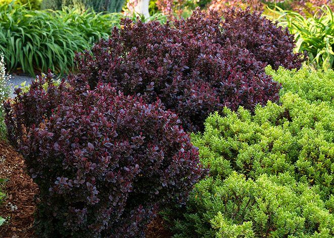 concorde japanese barberry berberis