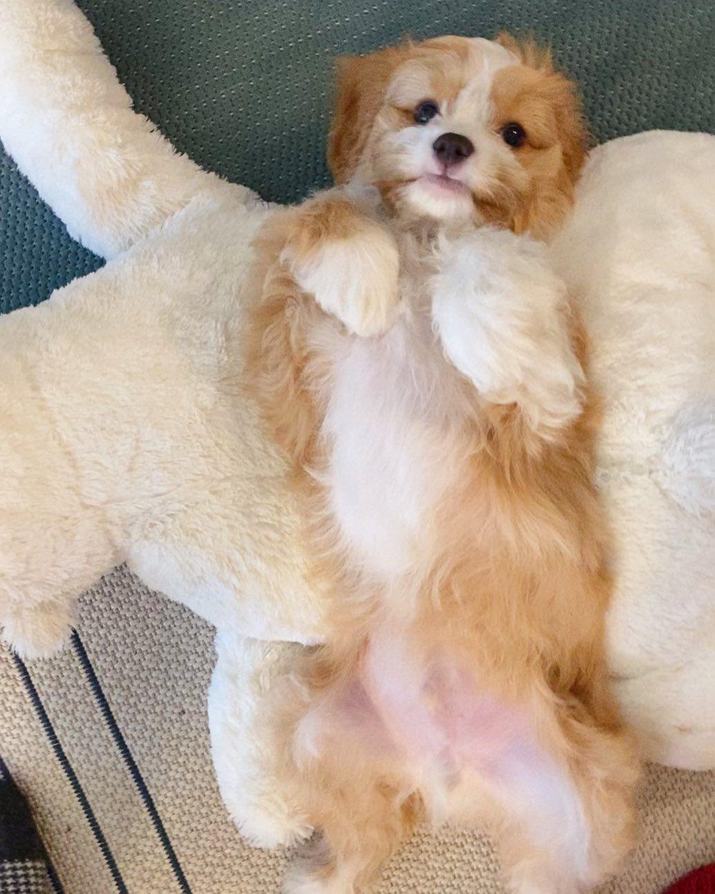 Gimme Gimme All The Belly Rubs Cavapoo Cavapoosofinstagram Cavapooworld Cavapoopuppy Cavapoolove Cavoodle In 2020 Cavapoo Puppies Cavapoo Corgi