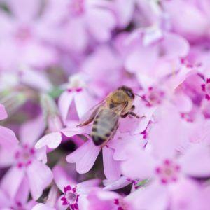 Bienenfreundliche Bodendecker: Die Top 15 für jeden Standort