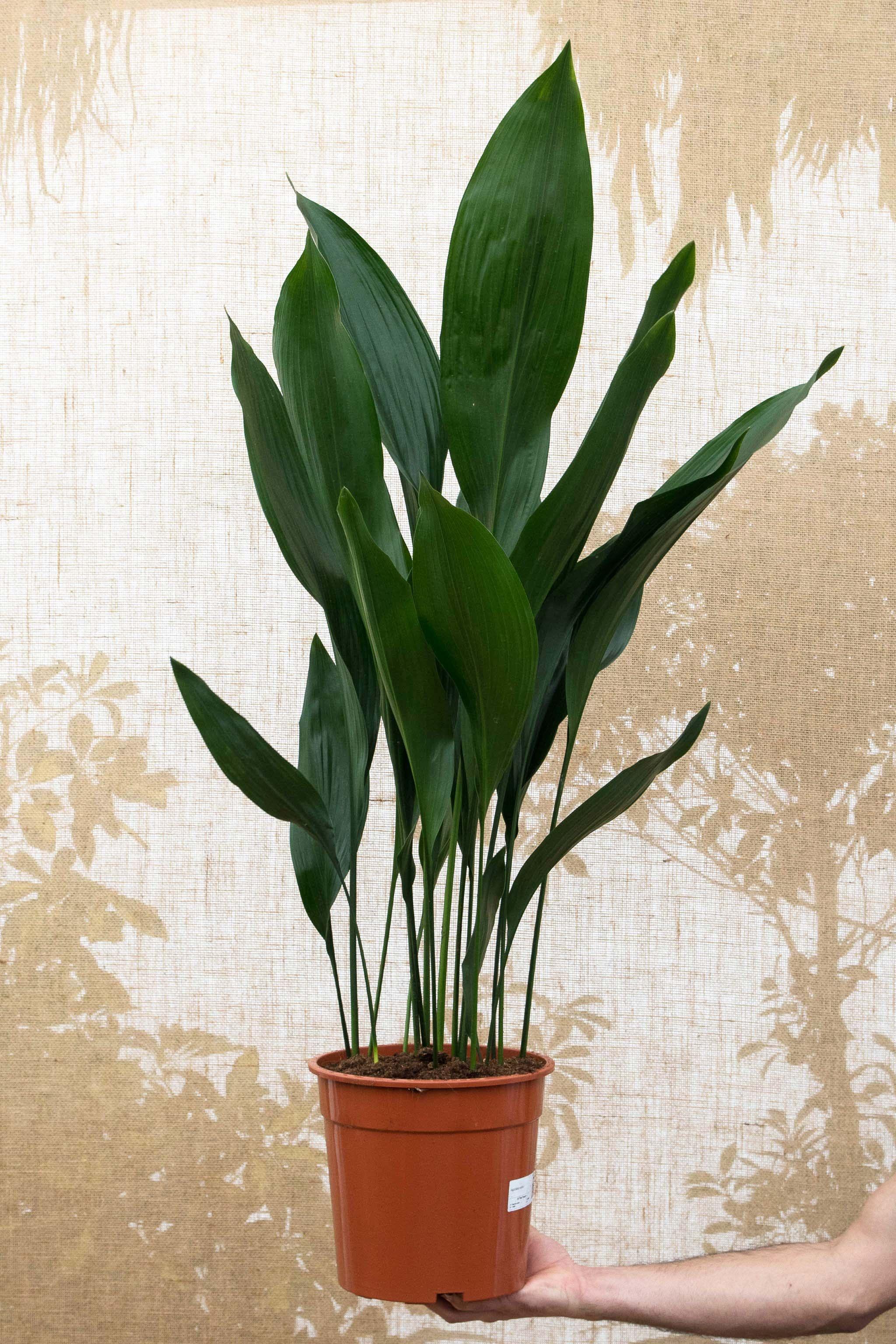 Photo of Cast Iron Plant | Aspidistra elatior – 110cm – 24cm