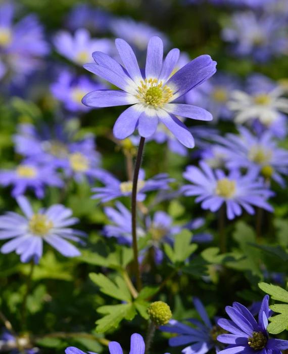 Anemone Blanda Blue Shades Windflowers Blue Plants Front Yard Plants Shade Flowers