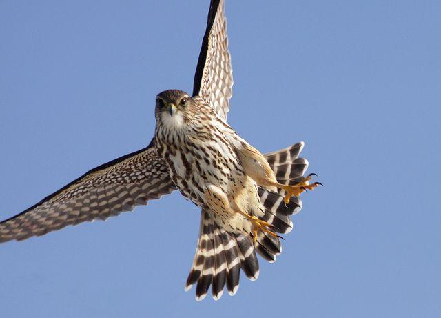 Jen St. Louis Photography | Eagles, Hawks, & Falcons | Merlin ...