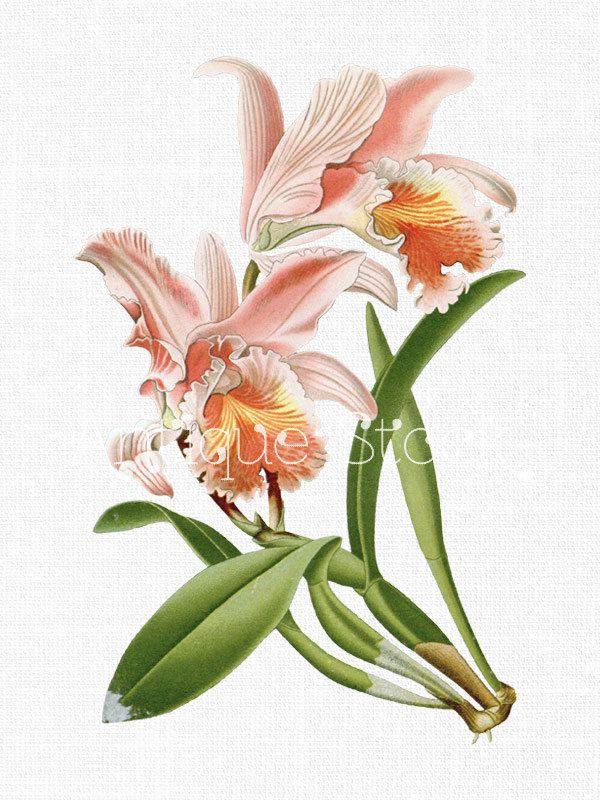 Orchid Flower Clipart 39 Pink Easter Cattleya 39 Botanical Illustration Art Instant Download Image For Inv Flower Illustration Flower Prints Art Flower Art