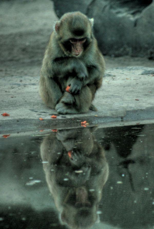 monkey by Drezdany-stocks
