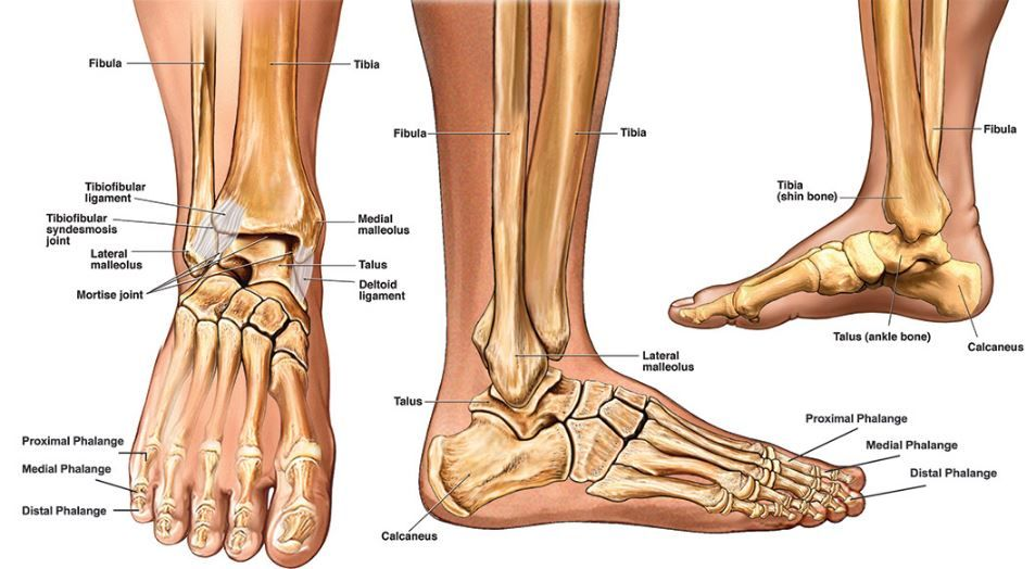 Image result for ankle anatomy   Grad School   Pinterest