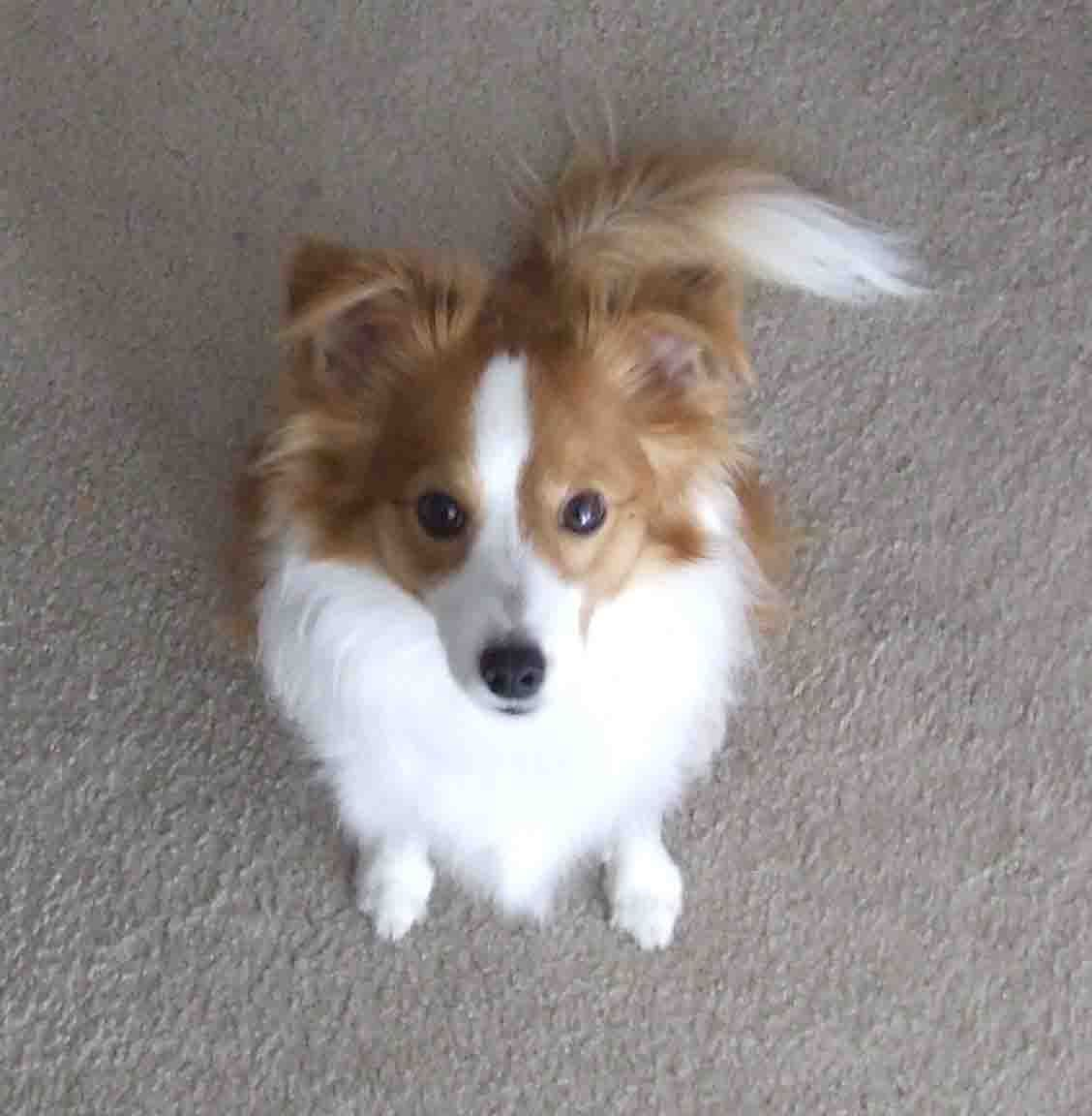 Shelillon Hybrid Dogs Papillon Mix Puppy Photos