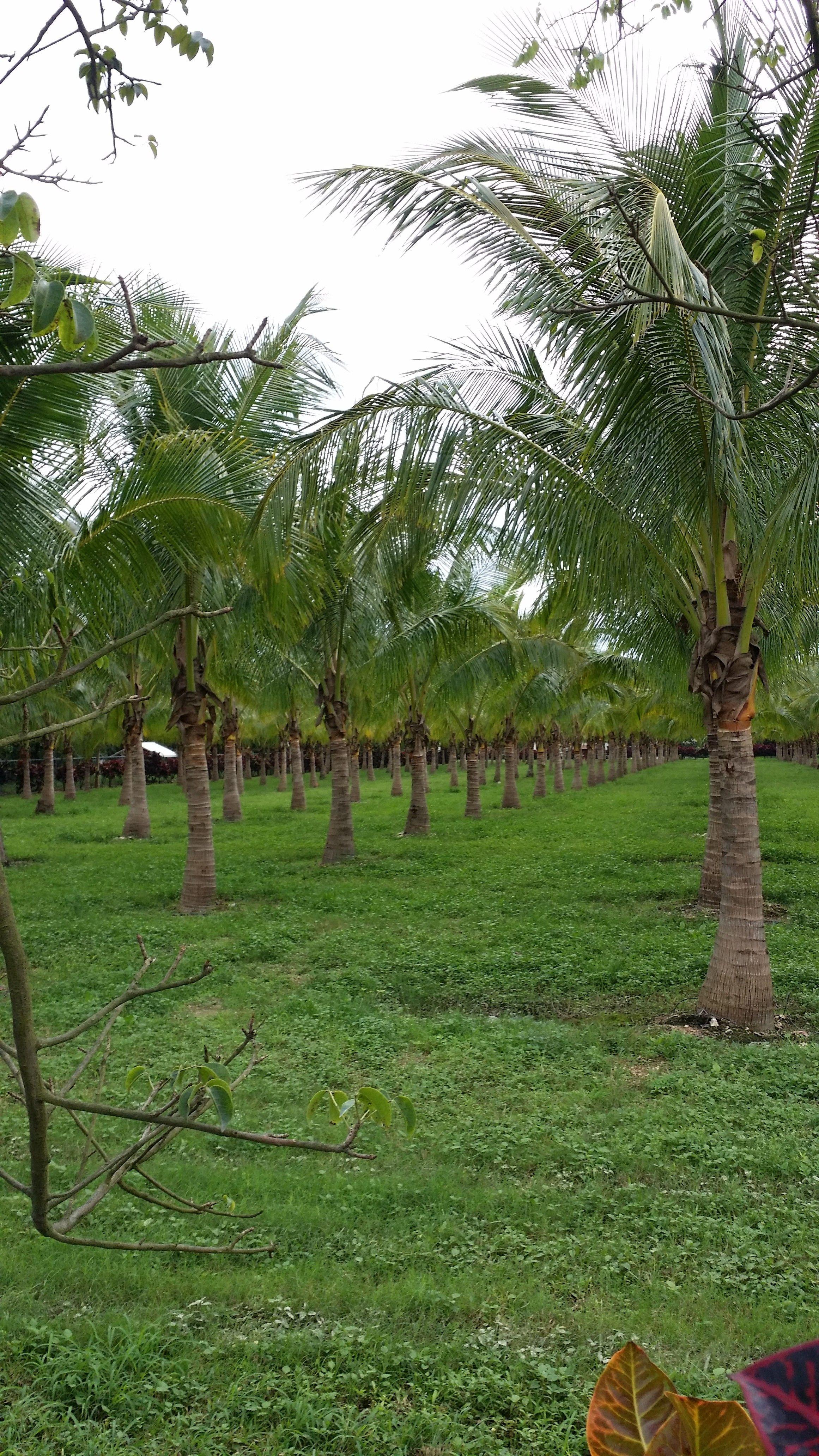 Florida Tree Farm Growers Whole Palm Nursery Malayan Coconut 8 Ft Ct