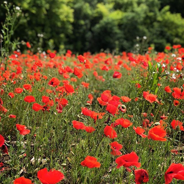 Poppies growing wild in Normandy . poppies Poppies