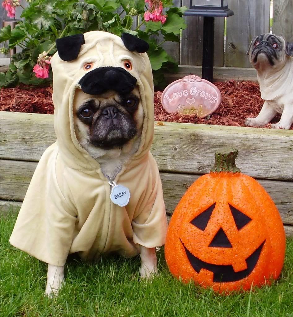Halloween Pugs Funny Pugs In Costume Pugs