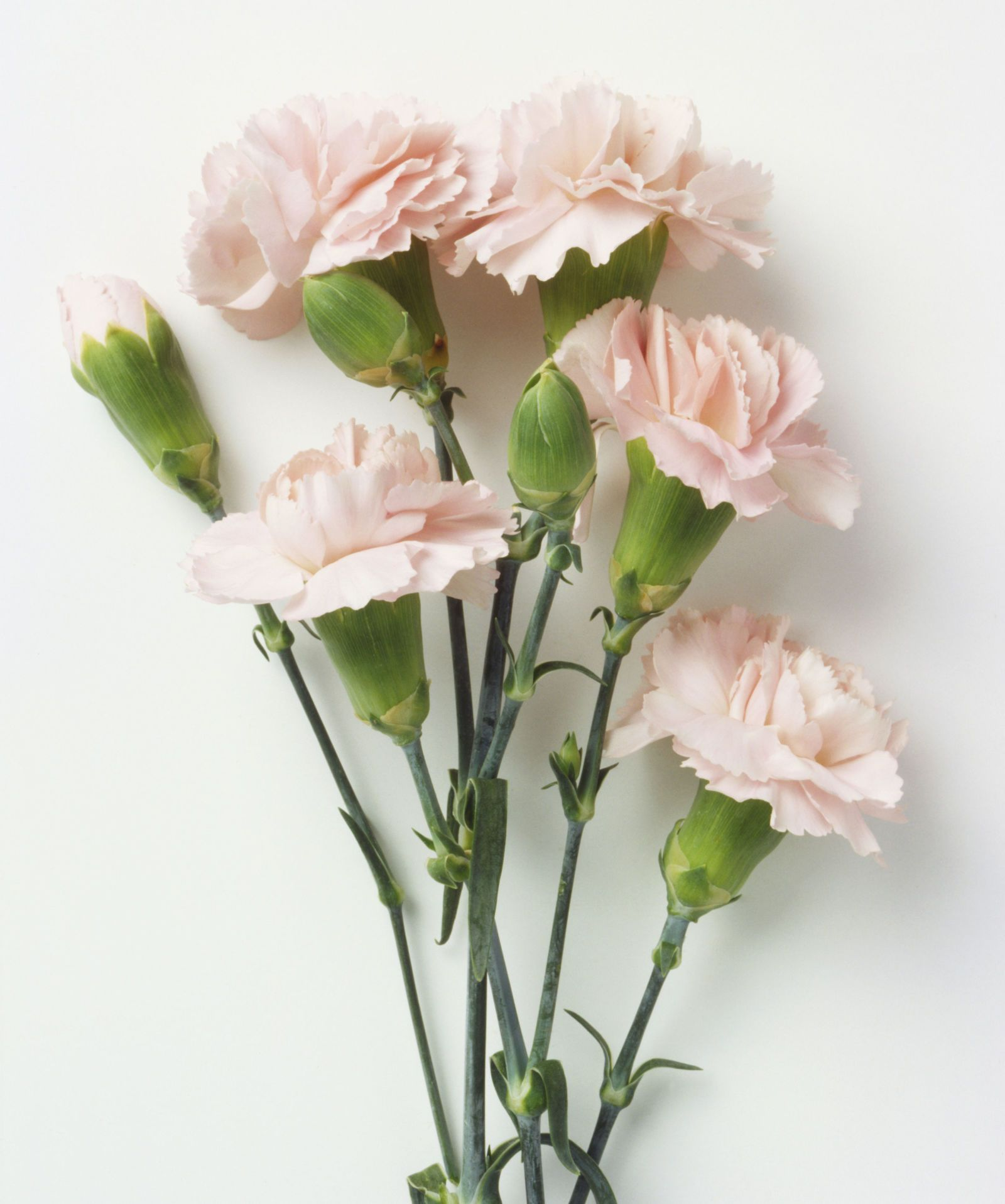 9 Reasons Carnations Are Actually The Best Carnation Flower Growing Carnations Carnations