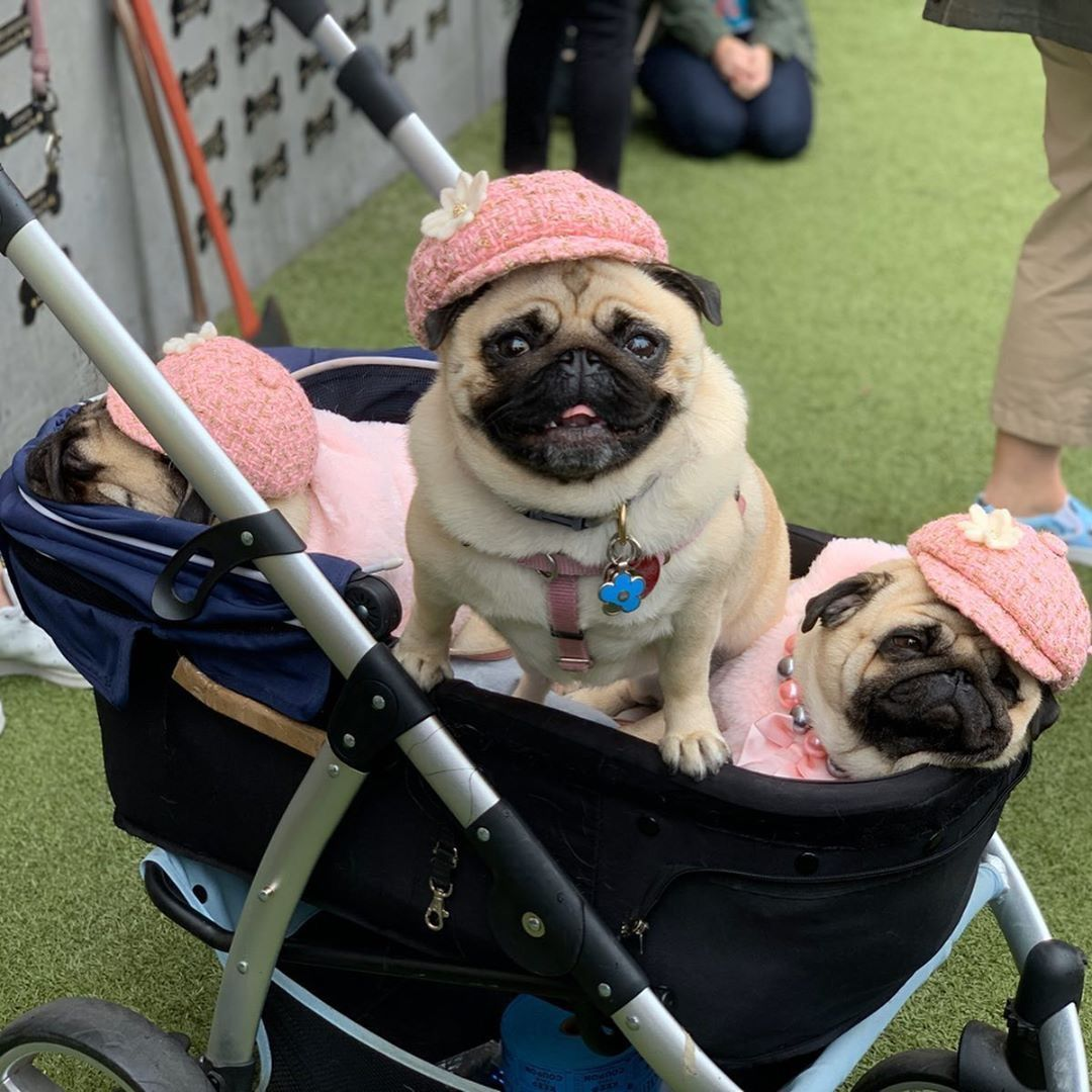 Pin By Pug Lover On Pug Topia In 2020 Pug Puppies Training