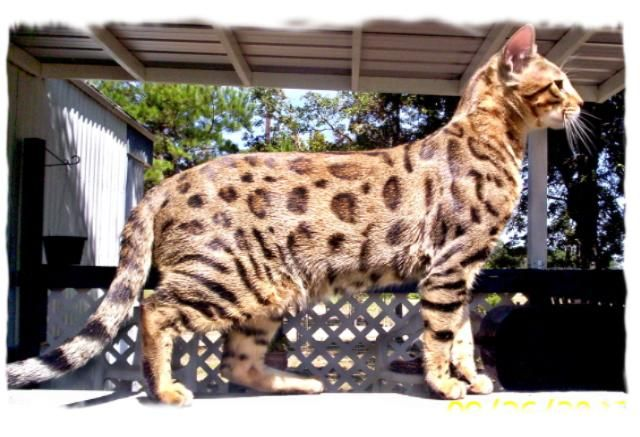 Cheetoh Cat Breed Cat Breeds Types Of Cats Cat In Heat