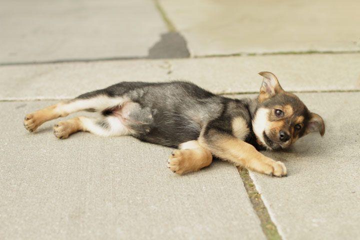 German Shepherd Rottweiler Mix Puppy At Toronto Animal Services