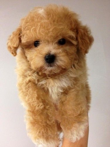 Maltipoo Pictures Full Grown