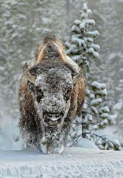 Wauw ❤ a real big buffalo! !!