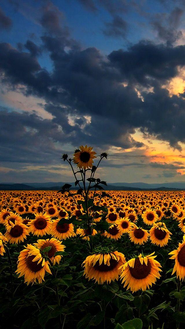 Pin by Shannon Hammel on Sunflowers   Sunflower wallpaper ...