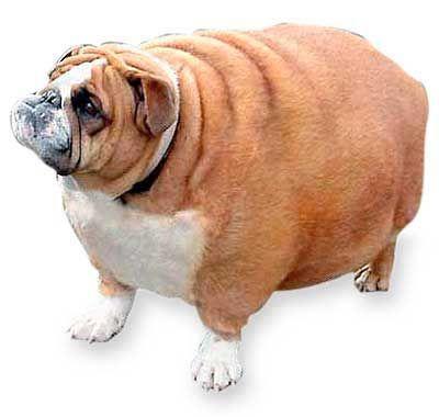 Best English Bulldog Chubby Adorable Dog - 0bff978ea7daddb465eff3ffd6fb6ff2  Graphic_701128  .jpg